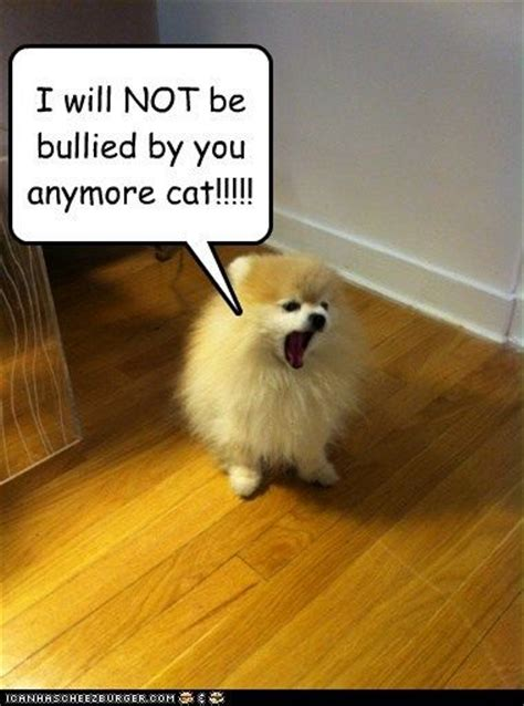 Pomeranian Meme - pomeranian memes pomeranians pinterest