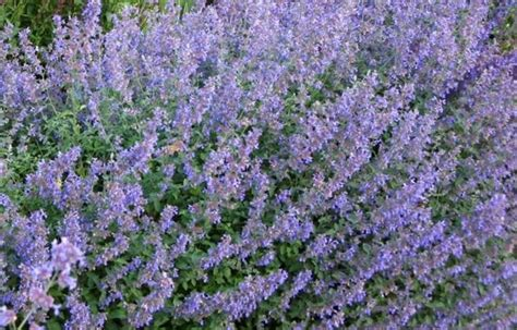 cat mint south eastern horticultural nepeta faassenii