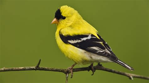 yellow bird sitting on a branch hd animals wallpapers