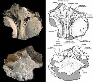 Carcharodontosaurid theropod Eocarcharia dinops gen. et sp ...