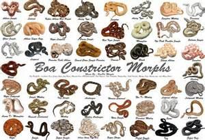 Boa morphs Snakes Pinterest Boas, Reptiles and Animal