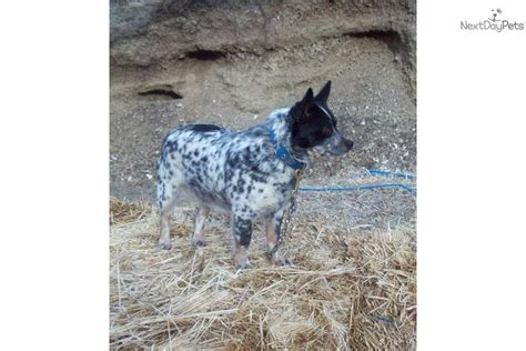 miniature blue heeler shedding catahoula and blue heeler pictures breeds picture