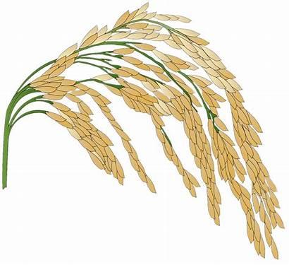 Rice Plant Transparent Pnglib Stickpng Pngio