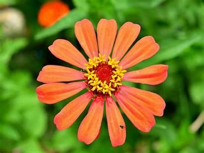Orange Zinnia Flower Standard