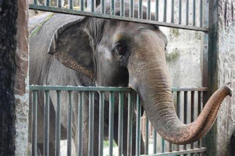 mali zoo elephant elephants alone depressed peta years lived saddest manila standard asia enclosure london