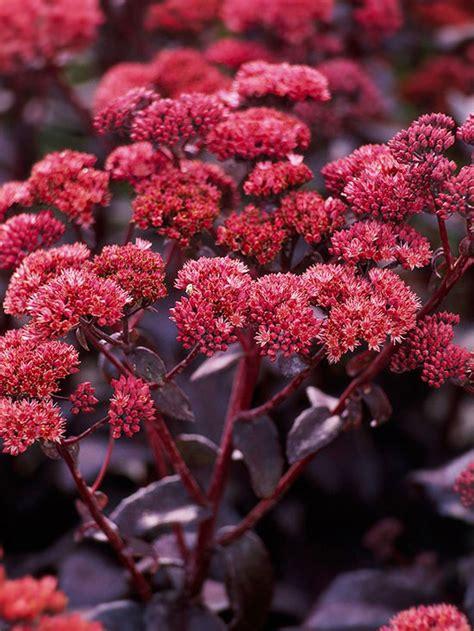 Purple Sedum Plants