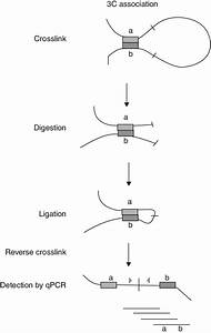 3c Procedure  Schematic Representation Of A 3c Assay  Light Grey And
