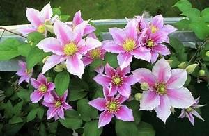 Clematis Pflanzen Kübel : clematis pflanzen wachstum anlegen s en ernten ~ Orissabook.com Haus und Dekorationen