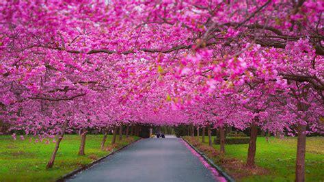Wallpaper trees, 4k, 5k wallpaper, sakura, spring, Nature ...