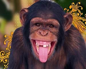 Chimpancé 1280x1024 :: Fondos de pantalla y wallpapers