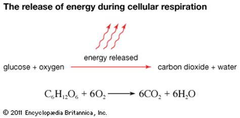 during cellular respiration energy is stored in the form of cellular respiration release of energy during cellular respiration students britannica
