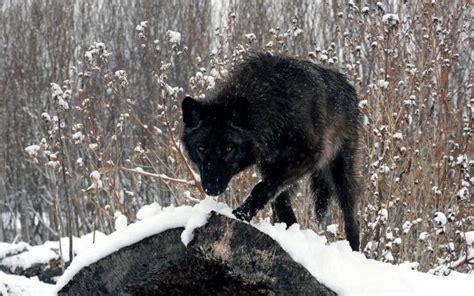 Black Wolf Hd Desktop Wallpapers 4k Hd