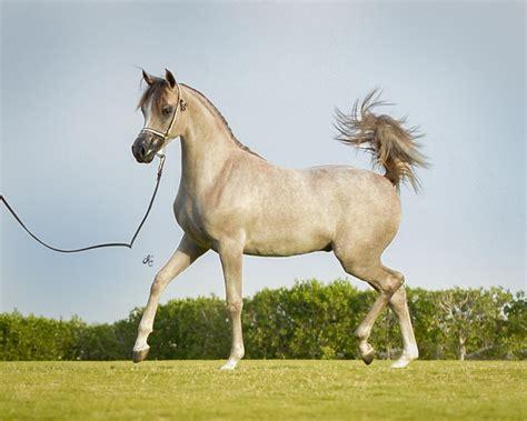 arabian horse stud