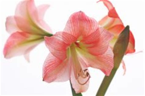 amaryllis zum blühen bringen amaryllis zum bl 252 hen bringen 187 tipps und tricks f 252 r den ritterstern