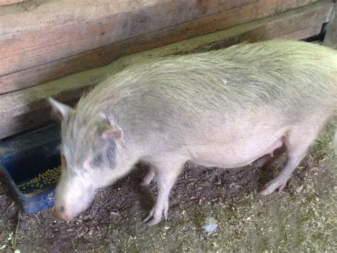 baby pot belly pigs baby pot belly pigs 50 for sale