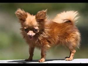 World's Smallest 'Adult' Dog - YouTube