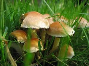 Pilze Auf Komposthaufen : pilze im rasen foto bild pflanzen pilze flechten ~ Lizthompson.info Haus und Dekorationen