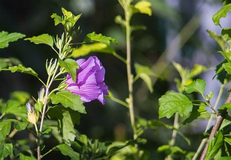 Couple Arrested when Police Confuse Hibiscus for Cannabis ...