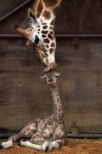 giraffe kiss on Tumblr