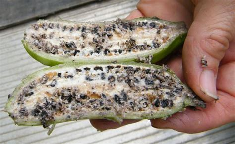 banana with seeds seeded banana pest northern rivers echo