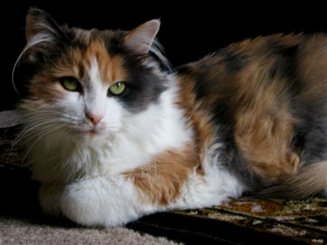 Cat Breeders by Siberian Forest Cat Breeders Cat And