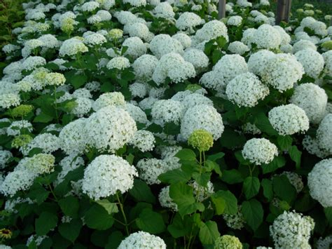 hydrangeas white flowers picture of white hydrangea png hi res 720p hd