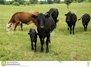 Black Angus Cow And Calf In Herd On Green Pasture Stock ...