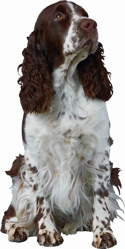 Dog Spaniel Springer English Zvieratka Cartoon Transparent