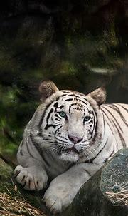 White Bengal Tiger Wallpaper 4K, Zoo, White tiger, Wild ...
