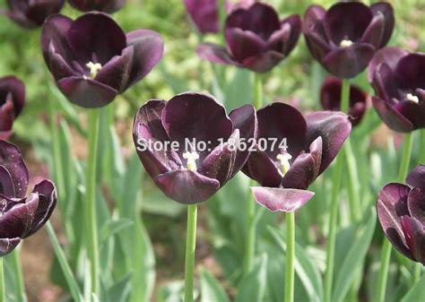 free shipping flower seed flower bulbs black tulip