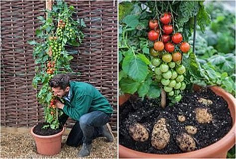 tomtato kartoffeln und tomaten  einer pflanze