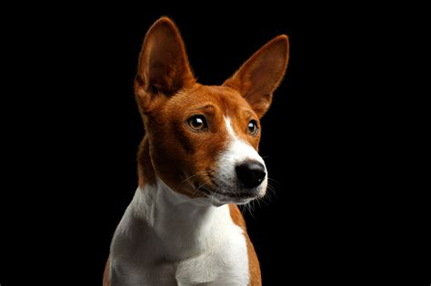 Backgrounds With Dogs by Picture Dogs Basenji Snout Glance Animals Black Background