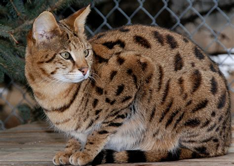 So You Think You Want A Bengal Cat Like Thor  Think Again
