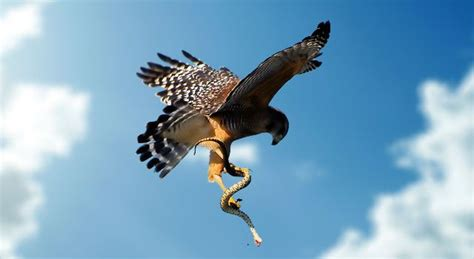 image gallery hawk with snake