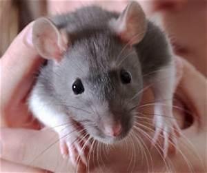 Was Fressen Ratten : ratten der richtige umgang mit zahmen ratten ratte ~ One.caynefoto.club Haus und Dekorationen