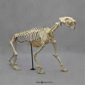 cat bones sabertooth cat smilodon articulated skeleton antique