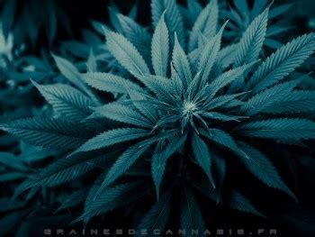 fonds decran cannabis telecharger  darriere plan du