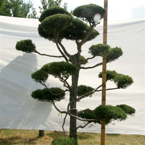Large Live Topiary Trees  Pine Topiary Trees 12 To 15