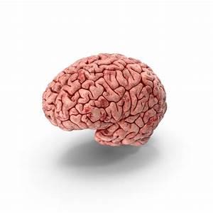 Human Brain Png Images  U0026 Psds For Download