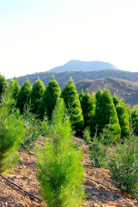u cut christmas tree farms in california kcet