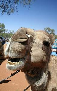 Smiling Camel Stock Photo  Image Of Springs  Northern