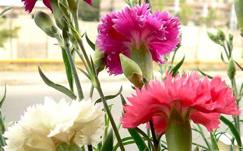 Nelken Pflanzen Kaufen by Landnelke Grenadin Pflanze Dianthus Caryophyllus