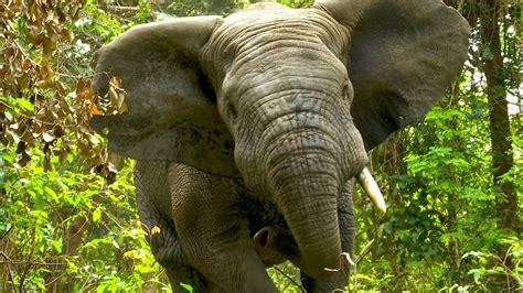 ifaw forest elephant rescue cote divoire  trailer