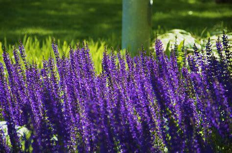 Lavendel Pflege Urlaubsflair Im Garten by Lavendel Bilder Kostenlos Lavendel Trocknen So Gelingt Es