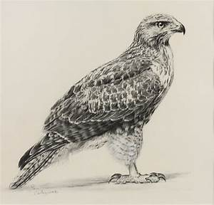 How to draw red-tailed hawk