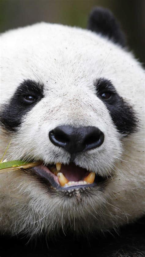 wallpaper panda giant panda zoo cute animals animals