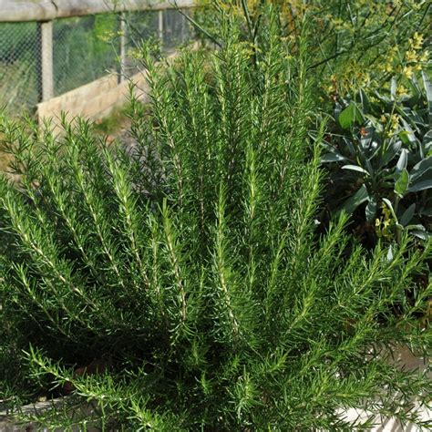 rosemary plant picture rosemary plant rosmarinus officinalis