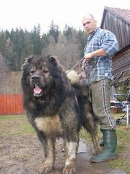 Caucasian Mountain Shepherd For Sale >> Best Caucasian Ovcharka Ideas And Images On Bing Find