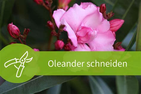 oleander schneiden der richtige schnitt zur richtigen zeit