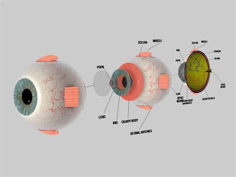 human eye cross section eyeball  model cgtrader